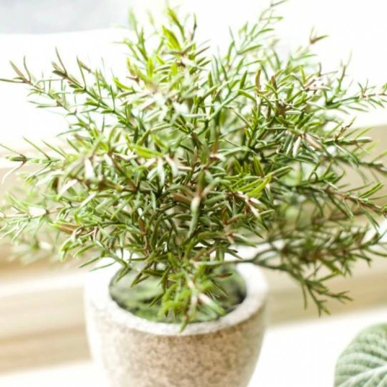 Faux Rosemary Bush Plant In Clay Pot H:21cm