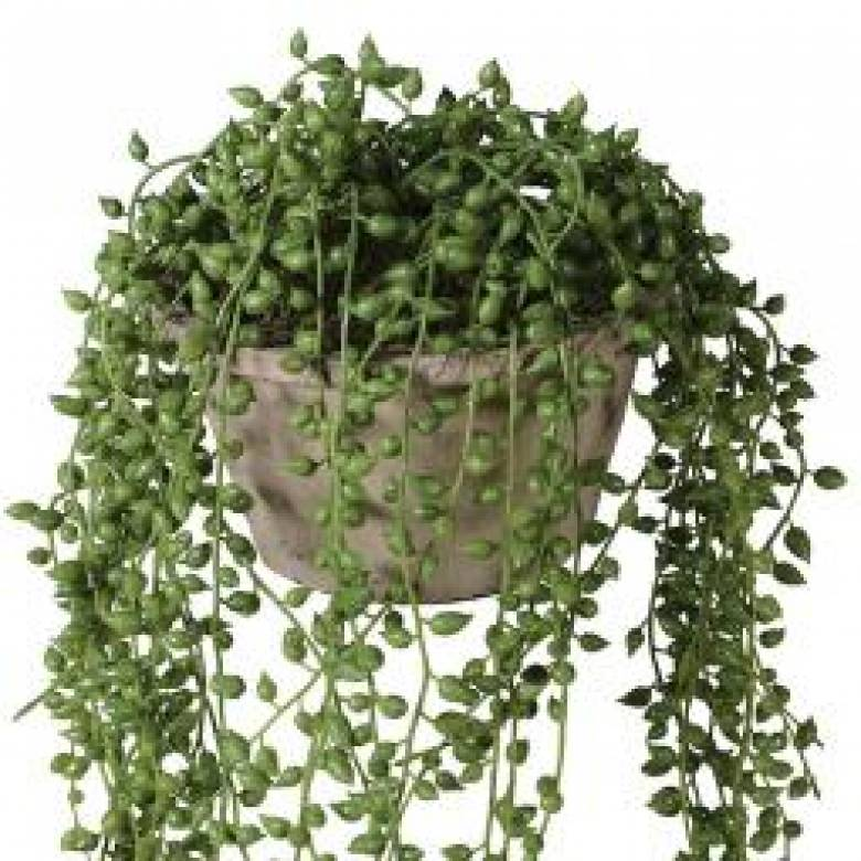String of Pearl Artificial Plant in Cement Pot