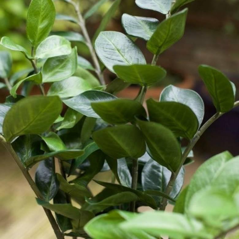 Faux ZZ Zamioculcus Plant In Pot H:89cm