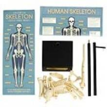 Anatomical Skeleton Model.